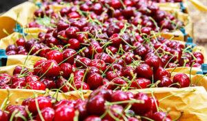 پیش بینی برداشت بیش از ۱۵۰۰۰ تُن آلبالو از باغات آذربایجان غربی