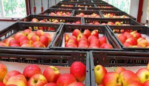 هیچ مشکلی بابت صادرات سیب از آذربایجانغربی وجود ندارد