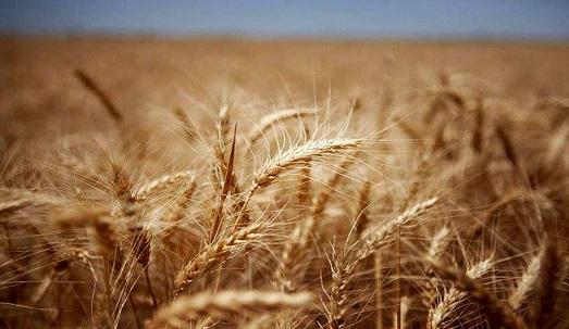 64 مرکز خرید برای گندم تولیدی در آذربایجان غربی دایر شد
