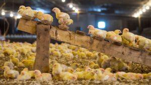جوجه ریزی ۲۰ هزار قطعه مرغ اجدادی در ارومیه