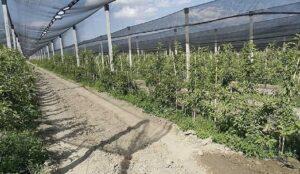 اجرای طرح سایبان باغات در باغات سیب ارومیه و مهاباد