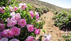 برداشت ۳۲ تن گل محمّدی از گلستانهای میاندوآب
