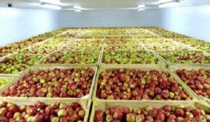 کمتر از ۵۰ هزار تن سیب در سردخانههای استان باقی مانده است