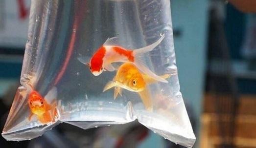 ماهی قرمز را از دستفروشان و دوره گردها نخرید