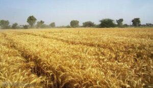 برداشت ۶۲ هزار تن غلات از مزارع شهرستان ارومیه