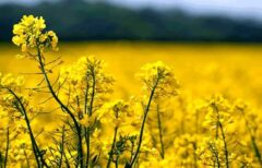 کلزاکاران آذربایجان غربی نسبت به بیمه محصولات زراعی خود اقدام کنند