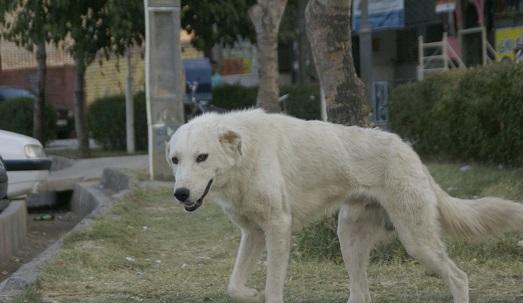 جولان سگهای ولگرد در ارومیه