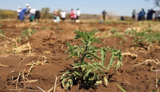 بیکار شدن 2000 کشاورز در نقده
