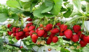 سالانه 231 تن توت فرنگی گلخانه ای در استان تولید می شود